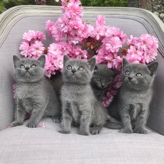 Nos chatons chartreux