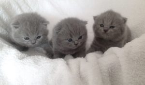Elevage de chatons chartreux