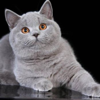 Elevage de chaton chartreux