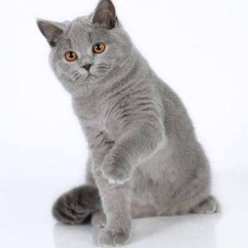 Elevage de chartreux benji's cat