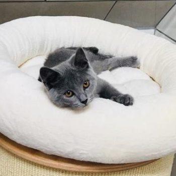 Éleveur de chaton chartreux