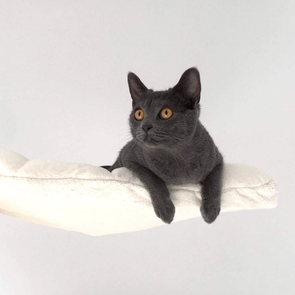 Elevage de chaton chartreux loof