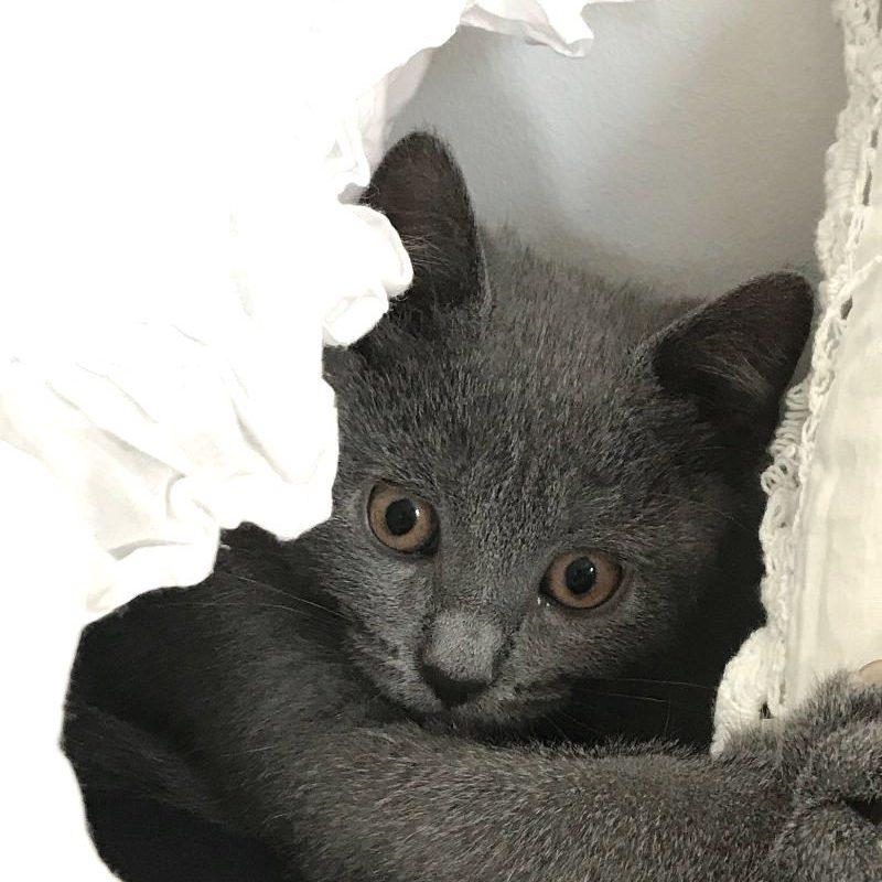 chat bleu chartreux