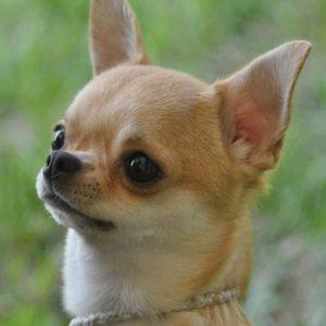 Chihuahua mini à poil court