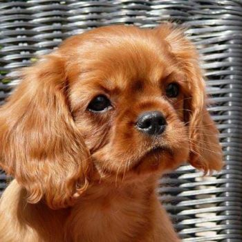 Chiot cavalier king charles Ruby